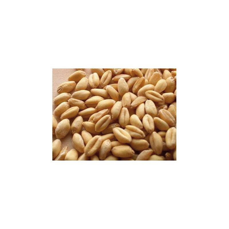 Graines sèches coup active baits ble blanc 1kg - Graines à préparer | Pacific Pêche