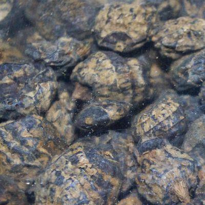 Graines sèches carpe active baits black tiger - Sèches | Pacific Pêche