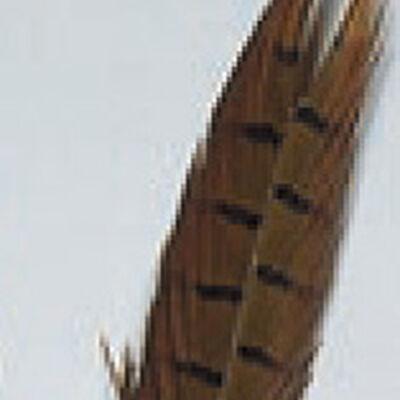 Fly tying plume de queue de faisan naturel jmc - Plumes | Pacific Pêche